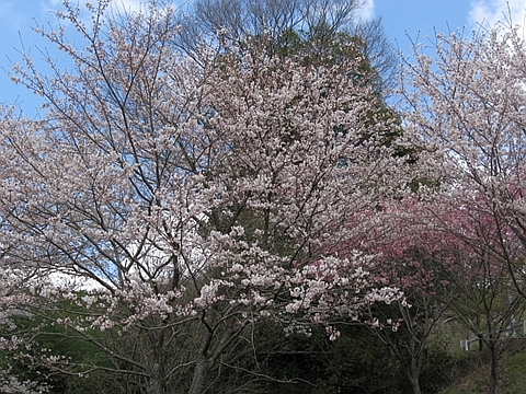 大見桜_R