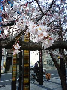 本日の御池桜