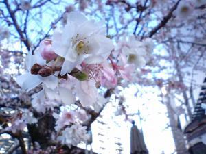 御池柳馬場の桜