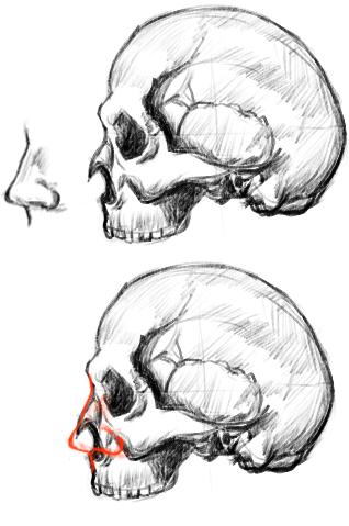 頭蓋骨で示す鼻の位置