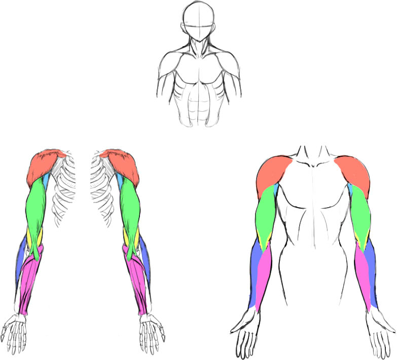 腕の筋肉説明03