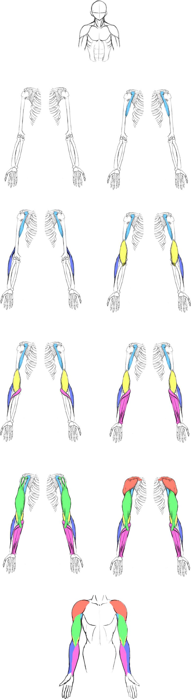 腕の筋肉説明09