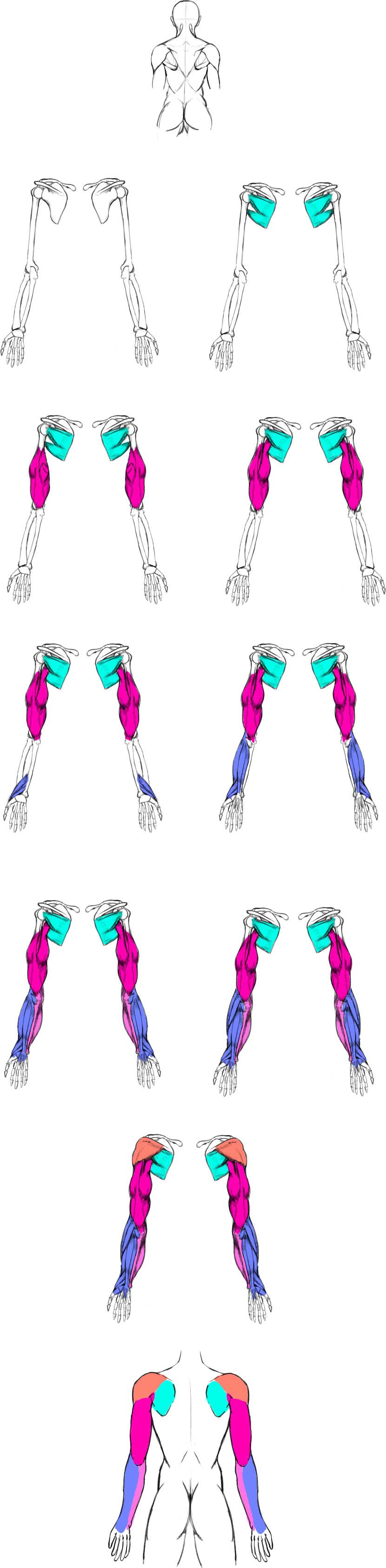 腕の筋肉説明13