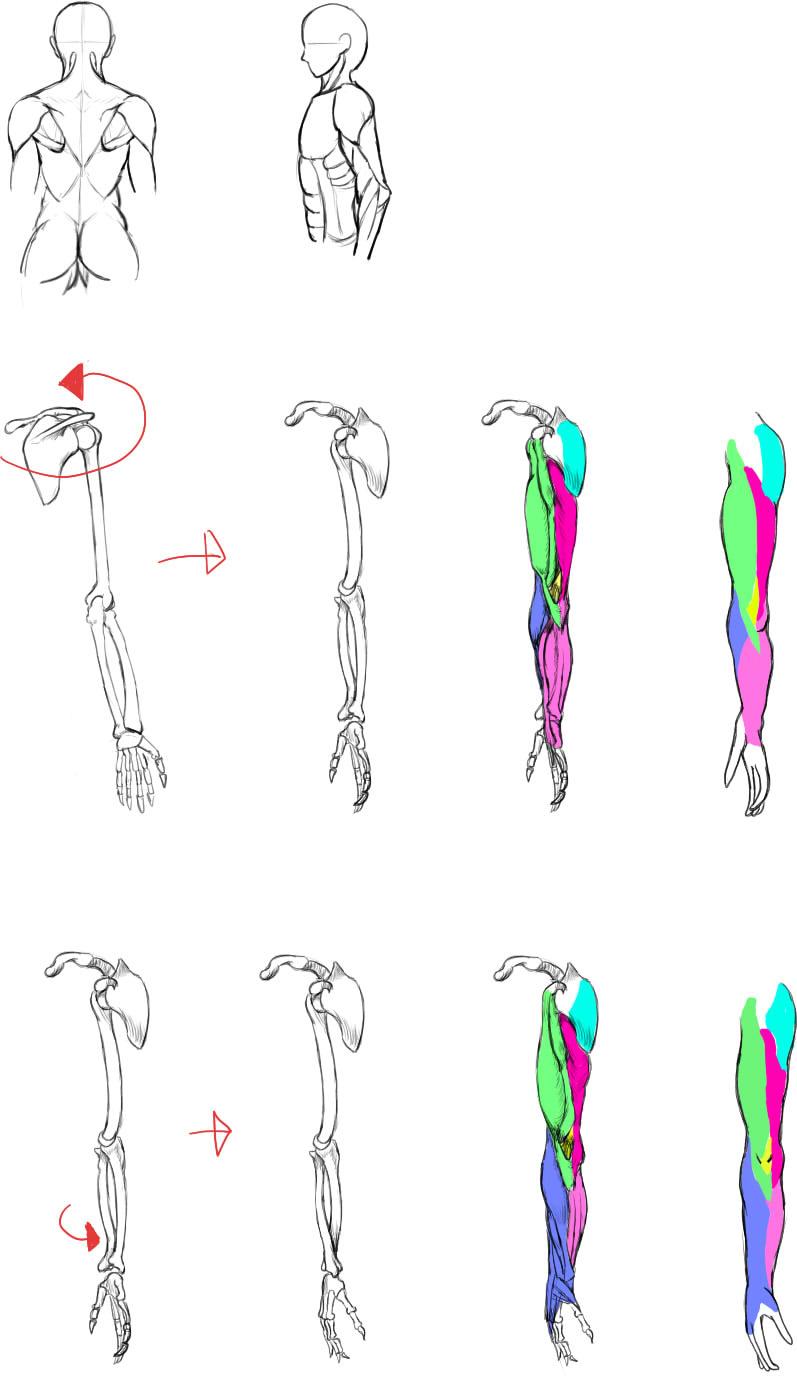 腕の筋肉説明17