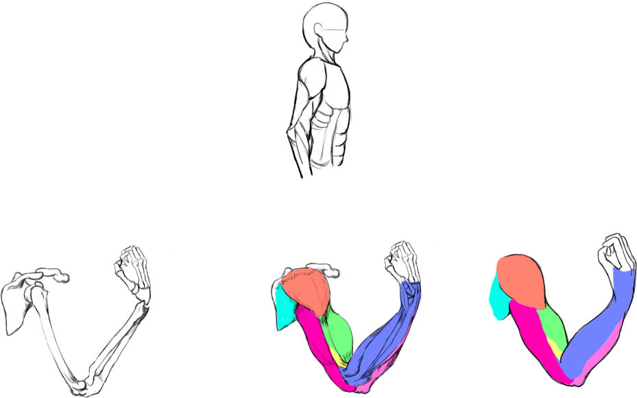 腕の筋肉説明30