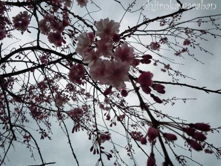 10しだれ桜
