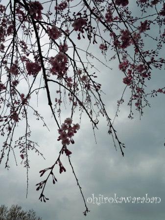 11しだれ桜と曇り空