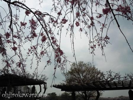 12しだれ桜と曇り空2