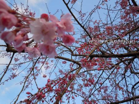 5青空と桜2