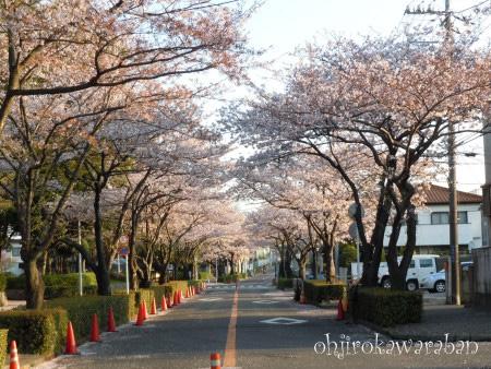 13桜のアーチ