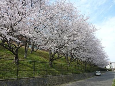 桜は遺伝子が同一