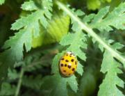 Japanese_ladybug_5498_400px.jpg