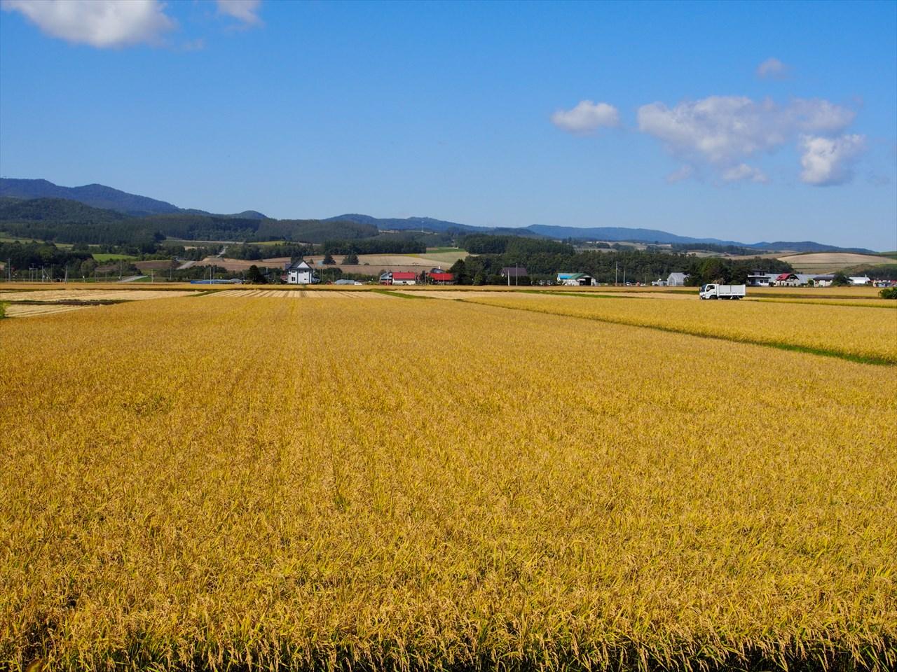 黄金色に染まる田んぼ