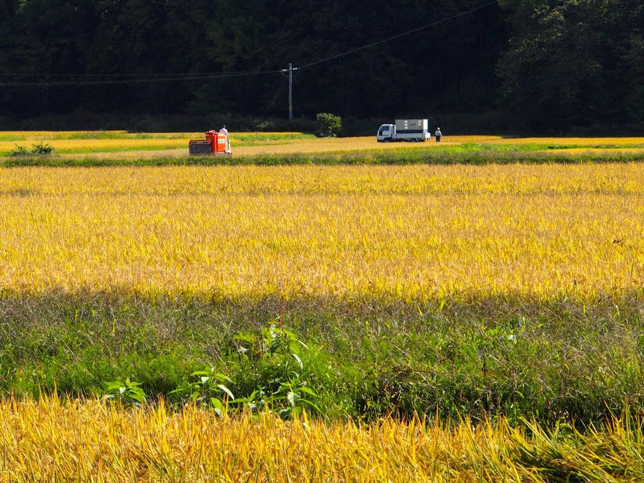 稲の収穫を行うトラクター
