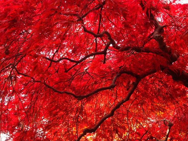 平岡樹芸センターの真っ赤なシダレモミジ