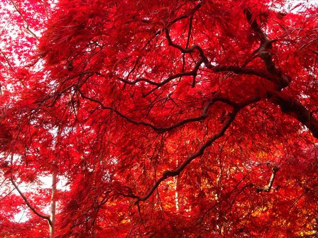 上品な姿を見せてくれるシダレモミジの紅葉