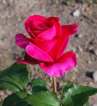 畑の薔薇 赤