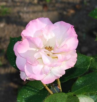 畑の薔薇 マチルダ