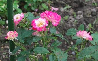 0708ピンクと白いバラ