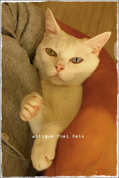 猫 カオマニー オッドアイ cat khaomanee oddeyes แมว ไทย ขาวมณี アンティークタイキャット