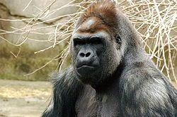 250px-Gorilla_019.jpg