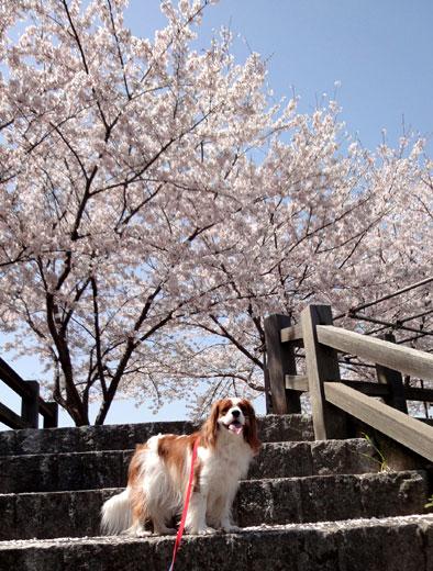 どこもかしこも桜ばい
