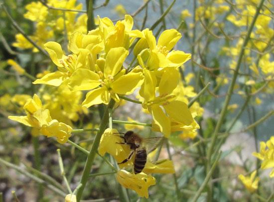 菜の花と蜜蜂と