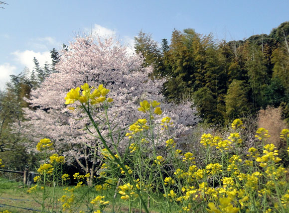好いとう桜
