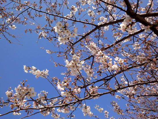 桜咲いた2010_1