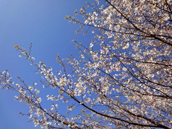 桜咲いた2010_2