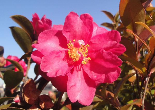 さざんかの花2010
