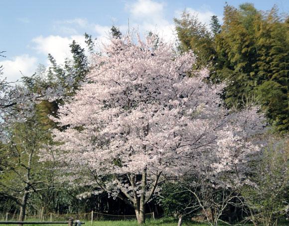 桜女王さま