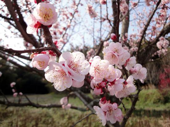 梅の花は満開たい
