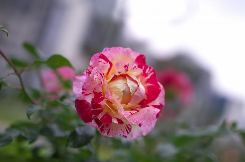 中之島公園ばら園 秋バラ