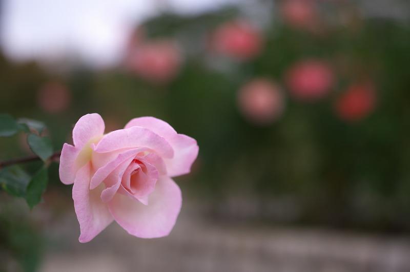 長居植物園 秋バラ