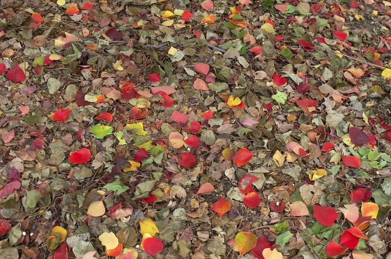 長居植物園 紅葉 落葉