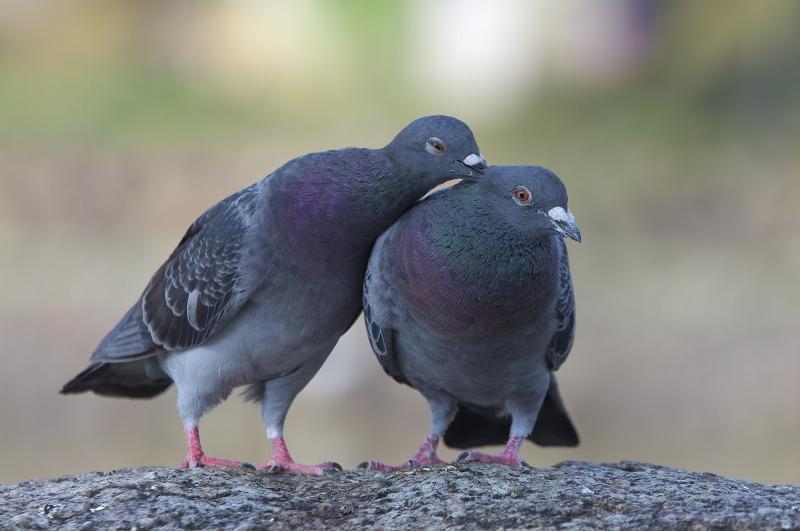 猿沢池 鳩