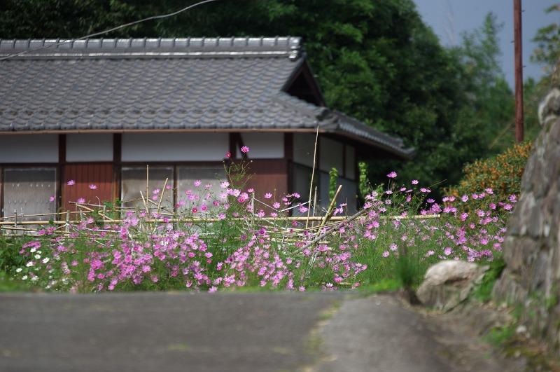 京都大原 コスモス