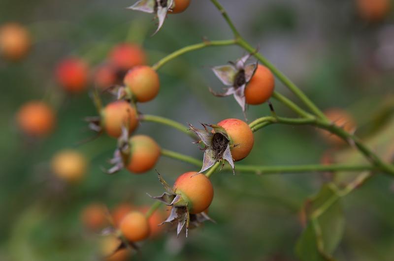 鶴見緑地 薔薇の実