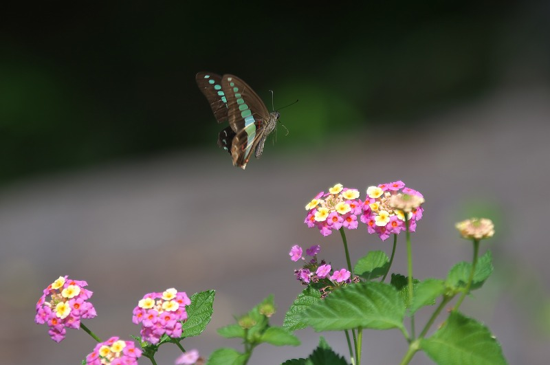 鶴見緑地 コスモス 蝶々