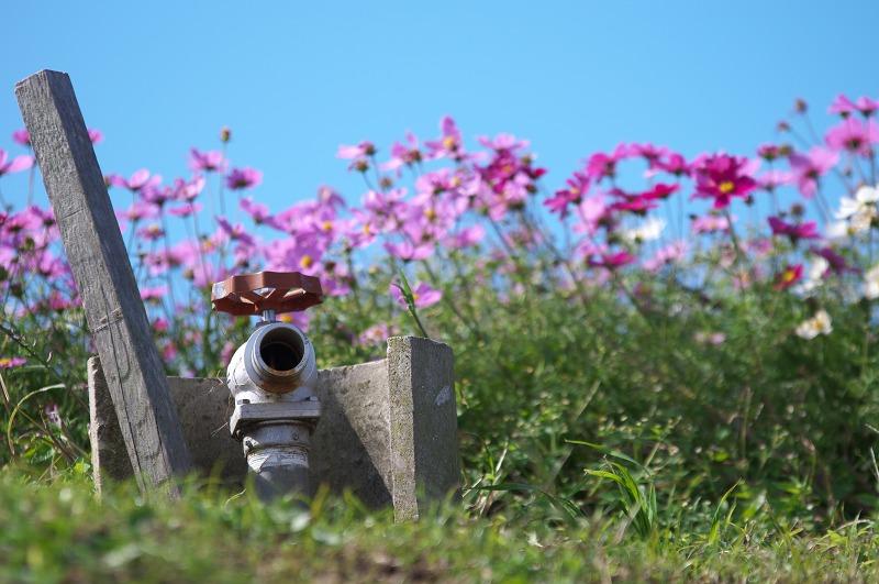 あわじ花さじきのコスモス畑