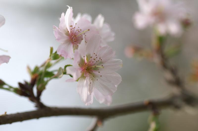 長居植物園 十月桜