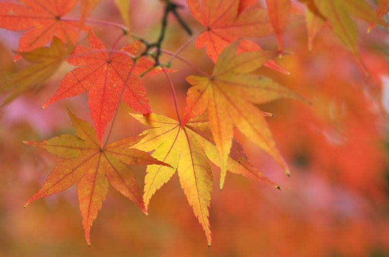 長居植物園 紅葉