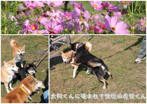 鶴見緑地 コスモス8