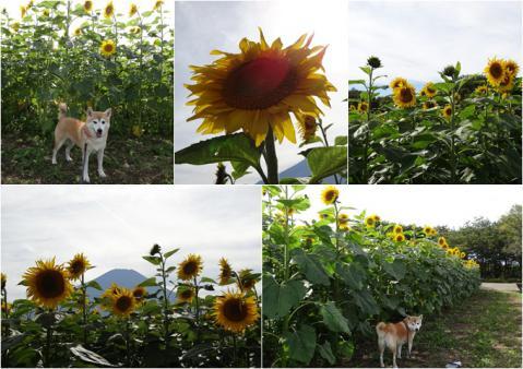 花の都公園 向日葵