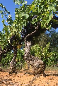 130112-20Cep-de-vigne