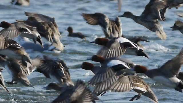 duck_20110124161145.jpg