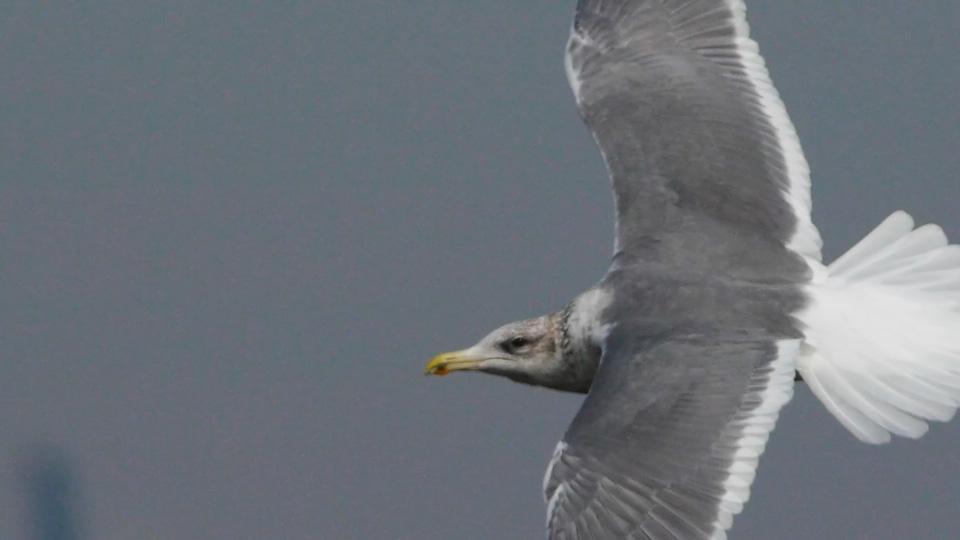 gull_20110124170344.jpg