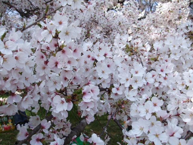 桜 公園③