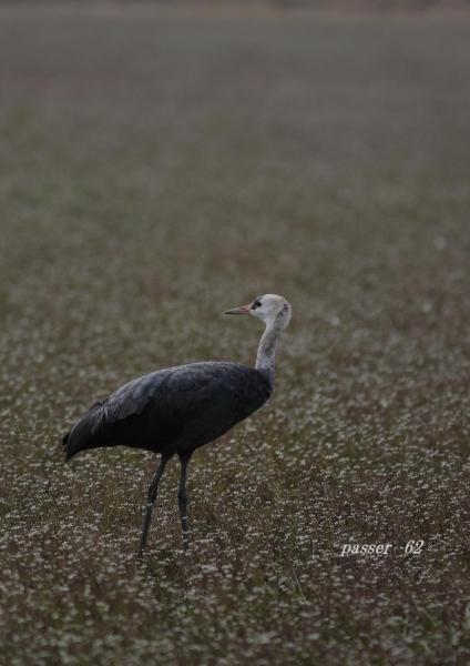 ナベヅル幼鳥